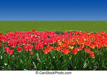 тюльпан, поле