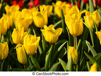 тюльпан, сад, желтый