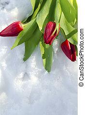 тюльпан, снег