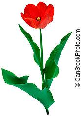 тюльпан, цветение, над, белый