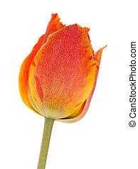 тюльпан, яркий