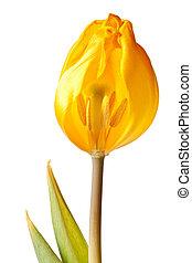 тюльпан, isolated, желтый