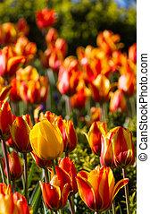 тюльпан, tulips, newcastle-upon-tyne, поле, желтый, uk, red-yellow