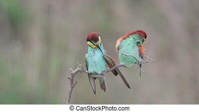 уборка, лето, два, прут, bee-eater, сидящий, европейская, feathers