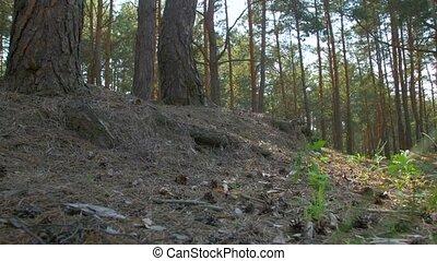 угол, лес, сосна, низкий