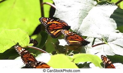 , удивительно, монарх, бабочка, святилище, в, мексика, где,...