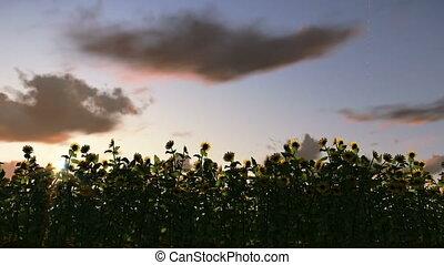 упущение, восход, sunflowers, время