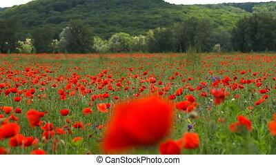услышанным, цветы, красный, ветер, мак