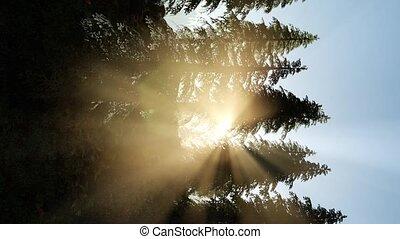 утро, рано, туман, trees, дрейфующий, через, легкий