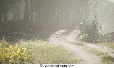 утро, туманный, лето, хвойный, стоять, sunbeams, entering