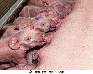 уход, piglets