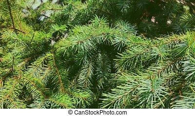 филиал, день отдыха, рождество, растение, крупный план, ель, природа, вечнозеленый, задний план, дерево