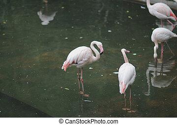 фламинго, тип, птица, wading
