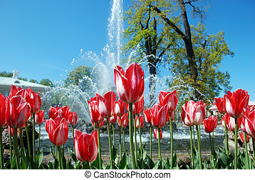 фото, tulips