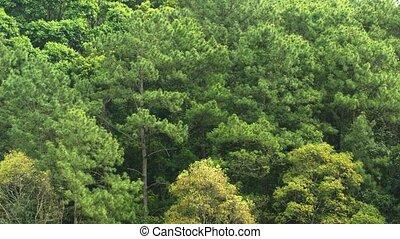 хвойное дерево, лес, склон холма, таиланд