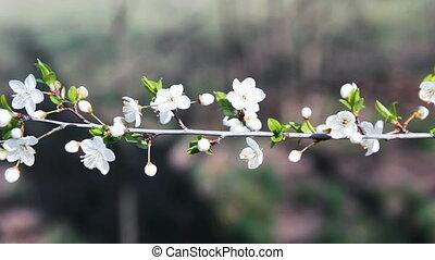 хобот, вишня, время, цвести, весна