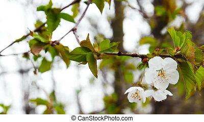 хобот, вишня, время, цвести, дерево, весна