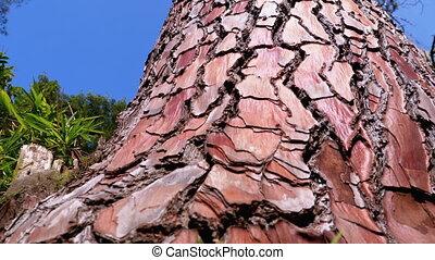 хобот, sky., сосна, дерево, pinaceae., pinaster., приморский, лес, bark., против, pinus