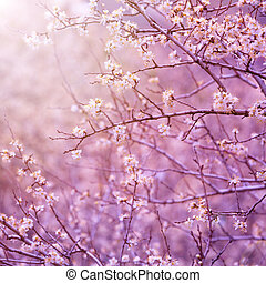 цвести, вишня, дерево
