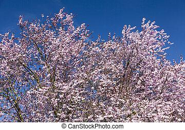 цвести, вишня, дерево, японский
