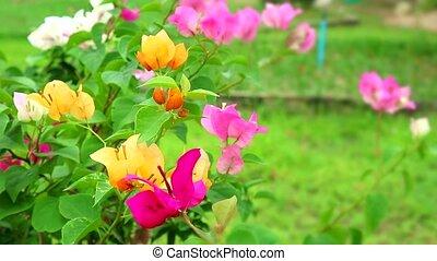 цветок, бугенвиль, многоцветный, swaying, holds, вдоль, сад, букет, ветер