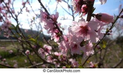 цветок, дерево, персик