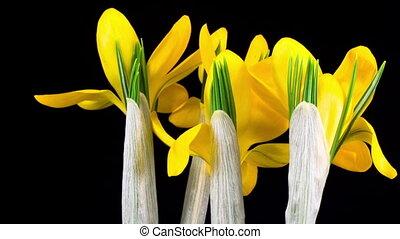 цветок, крокус, желтый, blooming