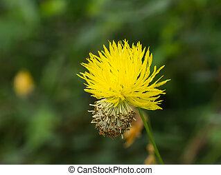 цветок, мимоза, желтый, воды, чувствительный, plant.