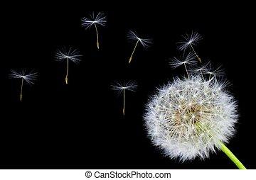 цветок, одуванчик