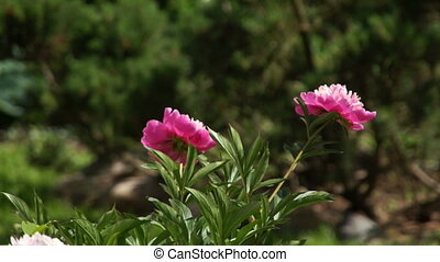 цветок, пион, ветер, красный