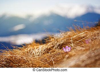 цветок, пурпурный, снег, против, mountains., расти, фон