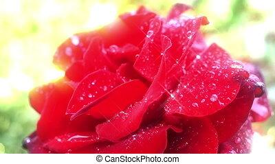 цветок роза, красный