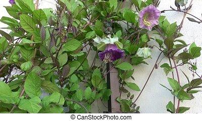 цветок, стена, бугенвиль, blossoms, пурпурный, белый