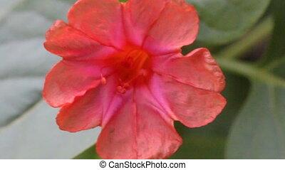 цветок, час, 4, jalapa, красный, mirabilis
