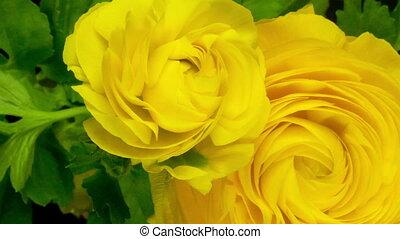 цветок, (persian, buttercup), над, timelapse, days, желтый, период, ranunculus, выращивание, 8, asiaticus