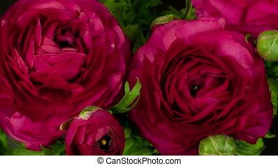 цветок, (persian, buttercup), над, timelapse, days, период, ranunculus, 4, выращивание, asiaticus, красный