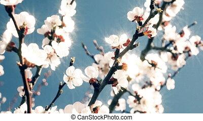 цветы, абрикос, blooming, весна