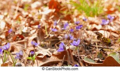 цветы, весна, первый, выстрел, ползунок