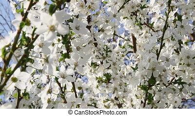 цветы, дерево, весна