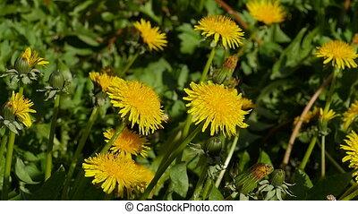 цветы, дикий, dandelions, желтый