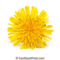 цветы, желтый, одуванчик
