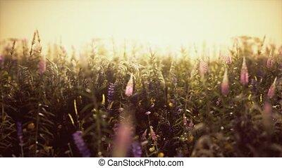 цветы, лето, закат солнца, дикий, поле