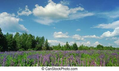 цветы, люпин