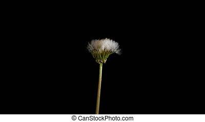 цветы, открытие, одуванчик