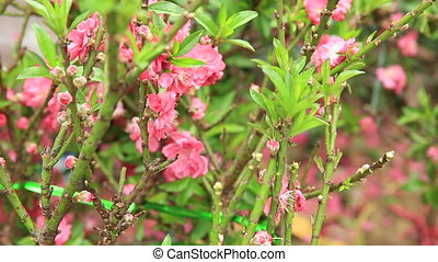 цветы, персик, blooming