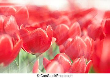 цветы, тюльпан, весна