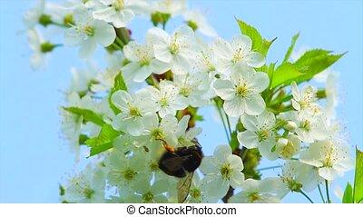 цветы, шмель, яблоко