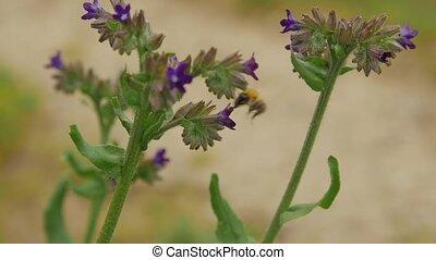 цветы, close-up., сбор, нектар, пчела