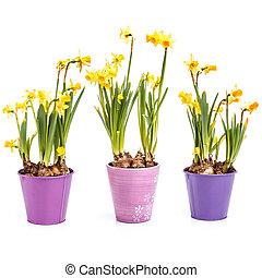 цветы, daffodils