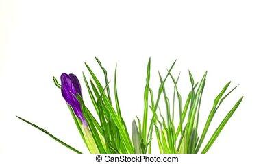 цветы, timelapse, крокус, белый